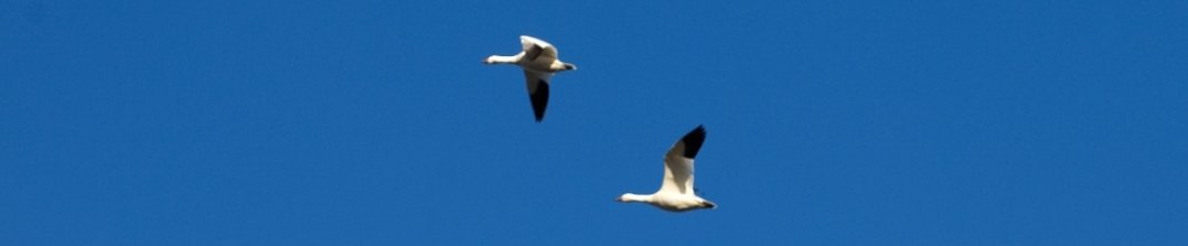 Wild Geese by Mary Oliver - text and audio of poem